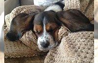Psy, które nie dorosły do swoich uszu. Zobaczcie słodziaki z wielkimi uszami, mamy nadzieję że dorosną do nich.