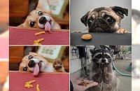 I jak się nie oprzeć takiej mordce? Zobacz prześmieszne reakcje tych zwierzaków na widok jedzenia!