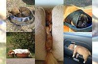 Psy mają wyrąbane na to gdzie śpią! 19 zdjęć psiaków, które rozbawią Cię do łez!