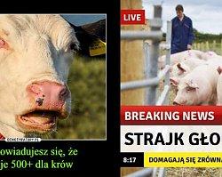 Jarosław Kaczyński proponuje dopłatę 500+ do krowy i 100+ do świni. Internet zalały MEMY!