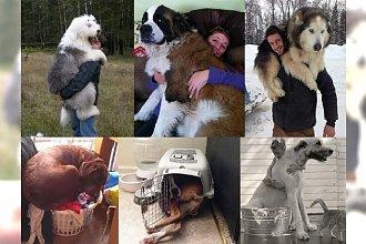 20 ogromnych psów, które nie zdają sobie sprawy z tego, jak wielkie są naprawdę! NIESAMOWITA GALERIA, której nie można przegapić!
