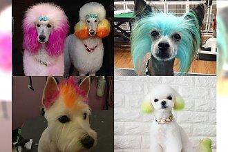 Farbowanie włosów nie tylko dla ludzi? Zobacz galerię i wyraź swoją opinię w ankiecie...