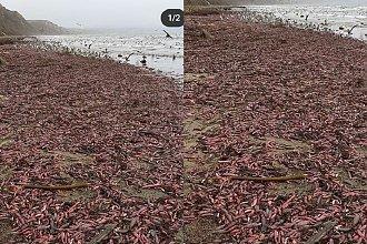 Na plaży znaleziono mnóstwo ryb, które wyglądają jak PENIS. Nie uwierzycie własnym oczom. To prawdziwa inwazja!