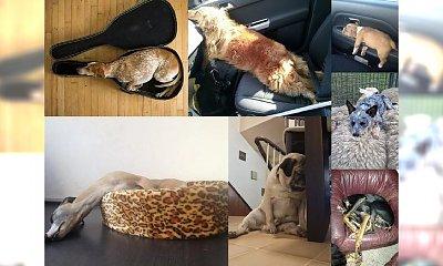 Oto 16 uroczych psów, w których się zakochasz! Są w stanie zasnąć dosłownie wszędzie! HAHA, TEGO JESZCZE NIE BYŁO!