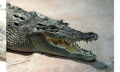Gigantyczny krokodyl pożarł psa na oczach właściciela (wideo)