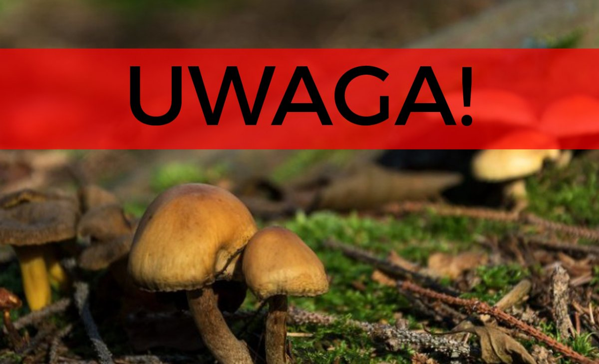 Śmiertelne grzyby na obiad. Cztery osoby nie żyją przez błąd grzybiarzy
