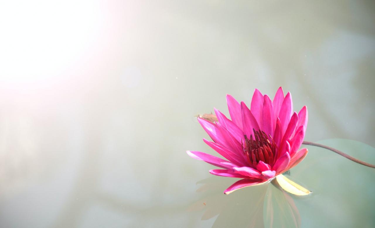Siła kwiatu lotosu - jego zastosowanie w kosmetyce