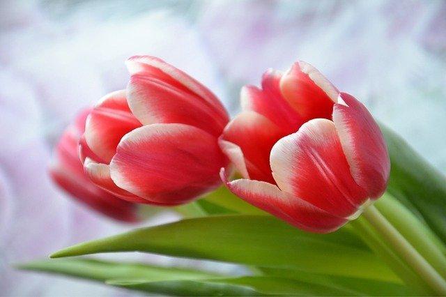 czerwone tulipany w zbliżeniu