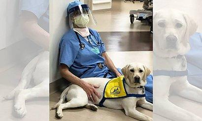 W amerykańskim szpitalu pojawił się psi terapeuta. Zwierze ma pomagać lekarzom