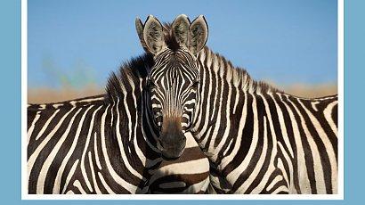 Która zebra patrzy w obiektyw? Ta zagadka wywołała burzę w sieci! Znasz odpowiedź?